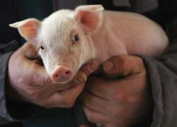 Informacja dla hodowców świń