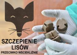 Przesunięty termin rozpoczęcia wiosennej akcji szczepienia lisów