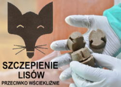 Jesienna akcja szczepień lisów przeciwko wściekliźnie